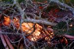 pine tree aflame, NWFV02P02_03