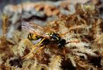 European Paper Wasp (Polistes domiulus), Yellowjacket