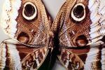 Butterflies, Wings, Butterfly, eyes, camouflage, Biomimicry, OECV02P01_19