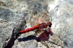 Dragonfly, Anisoptera, OEDV01P10_16