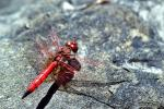 Dragonfly, Anisoptera, OEDV01P10_17