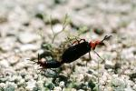 Blister Beetle, (Lytta magister), Meloidae, Meloinae, OEEV01P04_17
