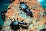 Anthia Beetle