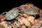 Giant Water Bug, Abedus sp., OEHV01P10_12