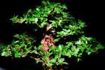 Chinese Elm (Ulmus parvifolia), 8 years training, Informal upright style, OFBV01P01_18