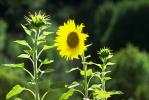 Sunflower, OFFV01P14_05.2849
