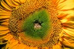 Sunflower, fractal center, OFFV04P01_16.0607
