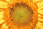Sunflower, Symmetry, Geometric, Center, Spiral, fractal center