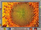 Sunflower, Symmetry, Geometric, Center, Spiral, OFFV07P09_15