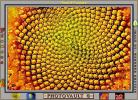 Sunflower, Symmetry, Geometric, Center, Spiral, OFFV07P09_17
