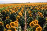 Sunflower, Fields