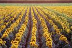 Rows Sunflower Plants, Field, Dixon California