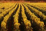 Rows of Sunflower Plants in a Field, Dixon California