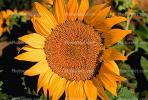 Sunflower, OFFV08P03_06.-2855