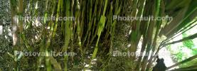 Bamboo Abstract, OFGD01_120