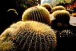Barrel Cactus, prickly, spikes, OFSV01P09_03.3299