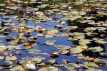 Pond, Water Lily Toad Stools, OFWD01_023