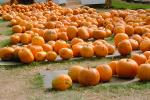 Pumpkins, Sebastopol, California