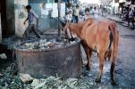 Cow, Cattle, Slum, Mumbai, (Bombay), India, POVV01P09_04