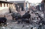 Pigs scavenging for food, Slum, Mumbai, (Bombay), India, POVV01P09_05
