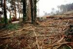 Clear Cut, Clearcut, tree cutting, Eucalyptus, Tractor