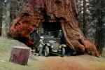 Car through a Sequoia Tree, Drive-Through Tree, automobile, Wawona Tunnel Tree, 1920's, VCRV20P13_02B