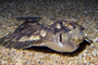 Pacific Dover sole, (Microstomus pacificus), Pleuronectiformes, Pleuronectidae, flounder, bottomfish, AAAD02_046