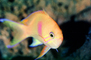 Squarespot Anthias, AAAV01P02_15