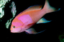 Squarespot Anthias