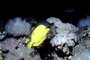 Yellow Tang, (Zebrasoma flavescens), Perciformes, Acanthuroidei, Acanthuridae, surgeonfish, AAAV01P13_16