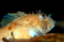 Threadfin Sculpin, (Icelinus filamentosus), eyes, AAAV02P02_07.4092