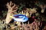Regal Tang, Palette Tang, (Paracanthurus hepatus), Perciformes, Acanthuridae, Dory, AAAV02P03_13