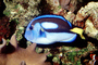 Regal Tang, Palette Tang, (Paracanthurus hepatus), Perciformes, Acanthuridae, Dory, AAAV02P03_14