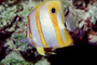Long Nosed Butterflyfish, (Chetodon kleini), (Orange Butterflyfish), eyes, AAAV02P03_18