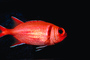 Menpachi Squirrelfish, (Myripristis argyromus), Holocentridae, soldierfishes, AAAV02P05_11.4092