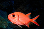 Menpachi Squirrelfish, (Myripristis argyromus), Holocentridae, soldierfishes, AAAV02P05_12.4092