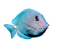 Atlantic blue tang surgeonfish, (Acanthurus coeruleus), Perciformes, Acanthuridae, photo-object, object, cut-out, cutout
