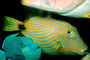 Undulated Triggerfish, (Balistapus undulatus), Tetraodontiformes, Balistidae, orange-lined triggerfish, orange-striped triggerfish, AAAV02P13_07.4092