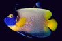 Yellow-Faced Angelfish, (Pomacanthus xanthometopon), Perciformes, Pomacanthidae, AAAV03P06_02.4092