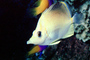Angelfish, Butterflyfish, AAAV04P03_13