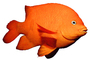 Garibaldi, (Hypsypops rubicundus), Perciformes, Pomacentridae, photo-object, object, cut-out, cutout