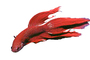 Siamese Fighting Fish, photo-object, object, cut-out, cutout, AABV02P05_18F