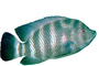 Cichlid [Cichlidae], photo-object, object, cut-out, cutout, AABV02P06_08F