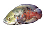 Oscar Cichlid [Cichlidae] photo-object, object, cut-out, cutout, AABV02P09_01F