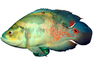 Oscar Cichlid [Cichlidae], photo-object, object, cut-out, cutout, AABV02P09_02F