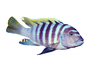 Cobalt Blue Zebra Cichlid, (Metriaclima callainos), [Cichlidae], Lake Malawi, Africa, photo-object, object, cut-out, cutout, AABV02P12_03F