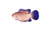 Climbing Perch, (Anabas testudineus), [Anabantidae], Anabantoidei, Perciformes, gouramies, photo-object, object, cut-out, cutout, AABV02P12_06F