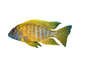 (Labidochromis mbenjii), [Cichlidae], Labroidei, Pseudocrenilabrinae, Perciformes, Lake Malawi Cichlids, photo-object, object, cut-out, cutout, AABV02P12_14F