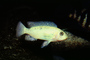 Cichlid [Cichlidae], Lake Malawi, Great Rift Valley, Africa, AABV02P13_01
