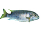 Cichlid [Cichlidae], photo-object, object, cut-out, cutout, AABV02P13_13F